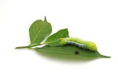 Gusano verde gigante con las hojas en el fondo blanco Fotos de archivo