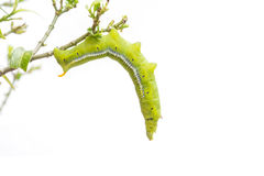 Gusano verde macro en la rama de árbol aislada en blanco Imágenes de archivo libres de regalías