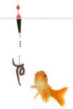 Gusano y goldfish imagenes de archivo