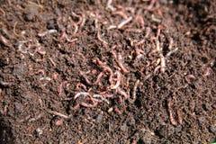 gusanos Foto de archivo libre de regalías