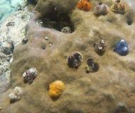 Gusanos coloridos de la Navidad en un coral Imágenes de archivo libres de regalías