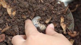 Gusanos de la comida o escarabajo de rinoceronte crecer en suelo en el granjero de las manos femeninas que el cultivar un huerto  almacen de video