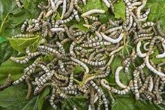 Gusanos de seda que comen el primer de la hoja de la mora Imágenes de archivo libres de regalías