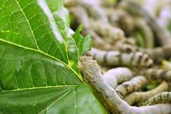 Gusanos de seda que comen el primer de la hoja de la mora Fotografía de archivo