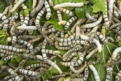 Gusanos de seda que comen el primer de la hoja de la mora Imagenes de archivo