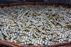Gusanos de seda que comen la hoja de la mora Fotos de archivo libres de regalías
