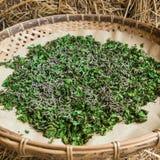 Gusanos de seda que comen la hoja de la mora en bandeja Imagenes de archivo