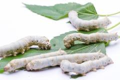 Gusanos de seda que comen las hojas de la mora Fotos de archivo libres de regalías