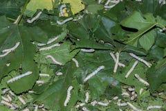 Gusanos de seda que festejan en sus hojas de la mora. imagen de archivo