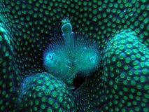 Gusanos del árbol de navidad en el caimán magnífico coralino Imagen de archivo libre de regalías