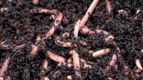 Gusanos en suelo del estiércol vegetal