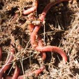 Gusanos rojos en el estiércol vegetal - cebo para pescar imagen de archivo libre de regalías