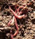 Gusanos rojos en el estiércol vegetal - cebo para pescar imagen de archivo
