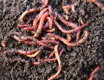 Gusanos rojos en estiércol vegetal foto de archivo libre de regalías