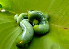 Gusanos verdes Imagen de archivo libre de regalías