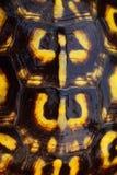 Guscio di tartaruga orientale della casella Immagini Stock Libere da Diritti