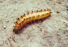 Gusenica - Caterpillar. Photo jun 2018 Nis Srbija canon sx700hs ika67 royalty free stock photo