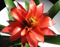 Gusmania kwiat fotografia royalty free