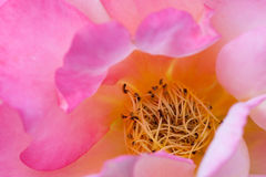 Guss an Anchen rose Royalty Free Stock Images