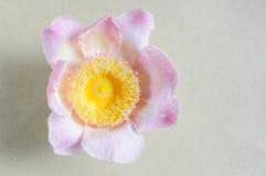 Gustavia för blommalotusblommaparadis closeup Arkivfoto