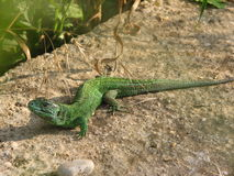 Guster lizard Royalty Free Stock Image