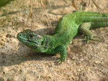 Guster lizard stock photography