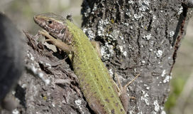 Guster lizard. Sitting in the sun Stock Photography