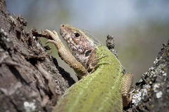Guster lizard. Sitting in the sun Royalty Free Stock Image