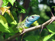 Guster lizard Royalty Free Stock Images