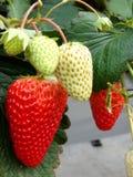 Gusto dolce della fragola delle piante di fragola Immagine Stock