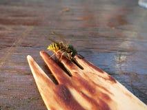 gusto por lo dulce de la abeja Fotos de archivo