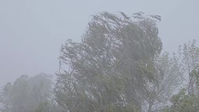 A gusty wind. Trees bend under the pressure of the wind. Heavy rain. stock footage