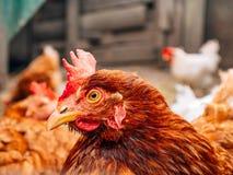 Gut-gepflegte rote Hennen im Dorf Hühner, die auf ländliches gehen Stockbilder