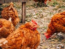 Gut-gepflegte rote Hennen im Dorf Hühner, die auf ländliches gehen Lizenzfreies Stockfoto
