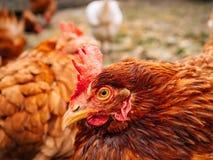 Gut-gepflegte rote Hennen im Dorf Hühner, die auf ländliches gehen Stockfoto