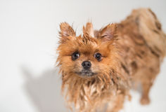 Gut gepflegter Hund pflegen Pflegen eines pomeranian Hundes Lustiges pomeranian im Bad Hund, der eine Dusche nimmt Hund auf weiße stockbild