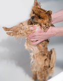Gut gepflegter Hund pflegen Pflegen eines pomeranian Hundes Lustiges pomeranian im Bad Hund, der eine Dusche nimmt Hund auf weiße lizenzfreie stockbilder