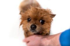 Gut gepflegter Hund pflegen Pflegen eines pomeranian Hundes Lustiges pomeranian im Bad Hund, der eine Dusche nimmt Hund auf weiße lizenzfreie stockfotografie