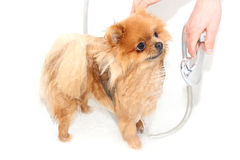 Gut gepflegter Hund pflegen Pflegen eines pomeranian Hundes Lustiges pomeranian im Bad Hund, der eine Dusche nimmt Hund auf weiße lizenzfreies stockbild
