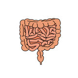 Gut human digestive system. Stock vector illustration of internal organs. Colorful icon with black outline royalty free illustration