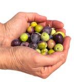 Gute Handvoll reife Oliven Lizenzfreies Stockfoto