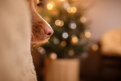 Guten Rutsch ins Neue Jahr, Weihnachten, Hund Nova Scotia Duck Tolling Retriever, Feiertage und Feier Stockbild
