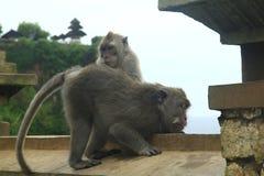 Guter Affe in uluwatu Tempel Stockfotografie
