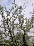 Guter Pfirsich der weißen Blumen stockbild