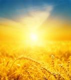Guter Sonnenuntergang über goldener Ernte stockbilder