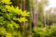 Guter Tag im Holz Ahornblätter auf einem undeutlichen Hintergrund Kopieren Sie SP Lizenzfreie Stockfotografie