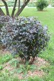 Guthesia buske ringer till vinden guthesiabuske på en isolerad bakgrund arkivfoton
