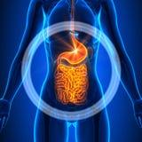 Guts - Female Organs - Human Anatomy Royalty Free Stock Photos