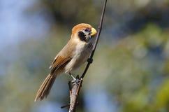 Guttaticollis di Parrotbill Paradoxornis del punto-breasted Fotografia Stock Libera da Diritti