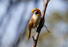 Guttaticollis di Parrotbill Paradoxornis del punto-breasted Fotografia Stock